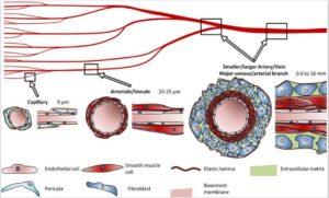 毛細血管から動脈までの図
