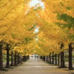 運動療法に適した秋の並木通り
