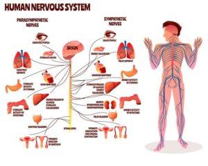 中枢神経と末梢神経の図